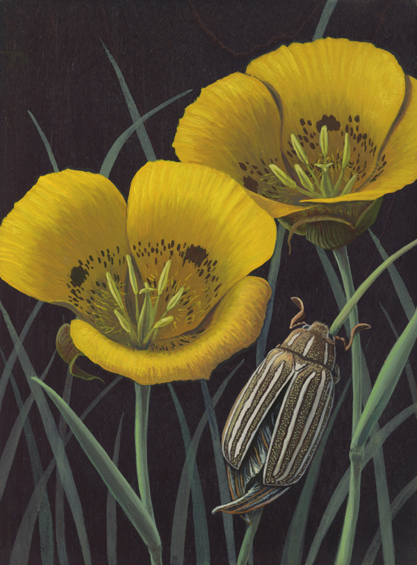 Calochortus and Ten-lined Beetle600